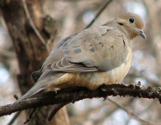 mourning_dove_7