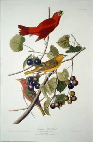 lossy-page1-587px-Summer_Tanager.tif
