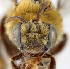 Melissodes_trinodis,_female_AMNH_BEE00131405-3,I_HHG1495